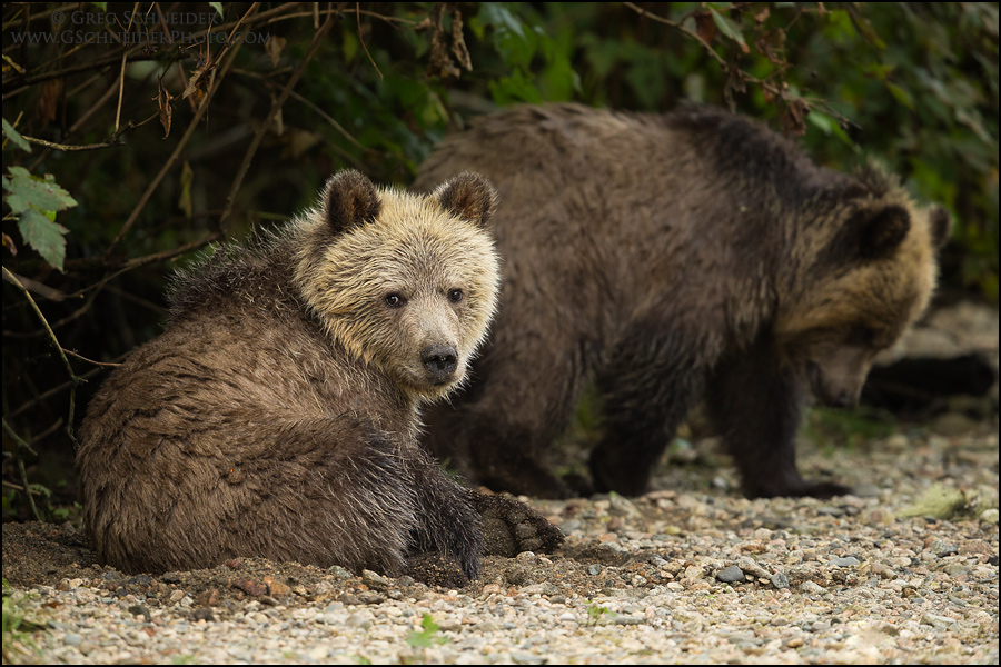 grizzly bear resting in - photo #24